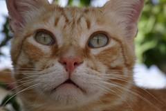 IMG_3331 Rubio, Mallorca (Fernando Sa Rapita) Tags: canon eos6d mallorca rubio sarapita animal cat gatito gato kitten mascota pet coth5 canoneos