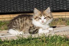 Chaton - Kitten (Sinkha63) Tags: beynat nouvelleaquitaine france fra