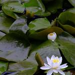 Lillies thumbnail