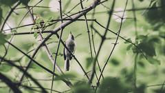 blue-gray gnatcatcher in the blackhaw tangle (amy buxton) Tags: birds bluegraygnatcatcherpolioptilacaerulea bluegraygnatcatcher amybuxton natural nature stlouis summer animals botanical garden