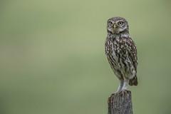 R18_1384 (ronald groenendijk) Tags: cronaldgroenendijk 2018 athenenoctua littleowl rgflickrrg animal bird birds copyrightronaldgroenendijk europe nature natuur natuurfotografie netherlands outdoor owl owls ronaldgroenendijk steenuil uil uilen vogel vogels