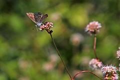 IMG_4832 (edward_rooks) Tags: sierraazulopenspacepreserve bald mountain mount umunhum insects wildflowers butterflies bees wasps assassin bug