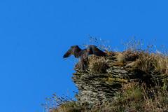Juvenile Peregrine Falcon (Adam Sibbald) Tags: juvenile peregrine falcon nikon d500 200500 nature bird prey bop coast coastal summer