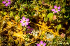 DSC_6543 (Salmix_ie) Tags: flowers blooms blossom colors nikon nikkor d500 karvat oravais finland june 2018