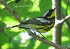 Magnolia Warbler (Lisa Cancade) Tags: warbler magnoliawarbler