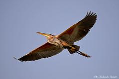 Airone rosso _010 (Rolando CRINITI) Tags: airone aironerosso uccelli uccello birds ornitologia mincio curtatone natura