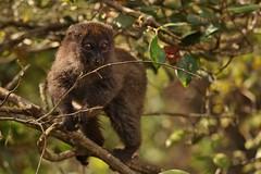 IMG_8539 Eastern lesser bamboo lemur (Hapalemur griseus) (Kalina1966) Tags: madagascar animals lemur