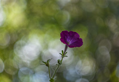 Petunia (Torok_Bea) Tags: petunia petúnia macro nikon nikond7200 d7200 flower flowers lilac helios helioslens bokeh bokehflowers heliosm44 solanaceae petuniahybrida magnoliophyta purple magicflowers colours