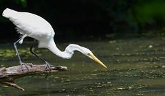 Great Egret (JDA-Wildlife) Tags: composition wow birds nikon nikond7100 tamronsp150600mmf563divc jdawildlife johnny portrait closeup eyecontact egrets egretgreat greategret