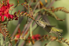 Anna's Hummingbird / Colibri d'Anna (shimmer5641) Tags: calypteanna annashummingbird colibridanna annashummingbirdfemale colibrideanna birdsofbritishcolumbia birdsofnorthamerica britishcolumbiacanada