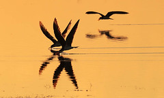 Skimmers skimming at sunset....simply magic ! (Liuwa Plain National Park - Zambia) (lotusblancphotography) Tags: africa afrique zambia zambie nature wildlife faune oiseau bird skimmer sunset coucherdesoleil reflection reflet water eau