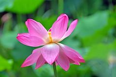 Lotus Flower (misi212) Tags: lotus botanical garden macro mademoisselle