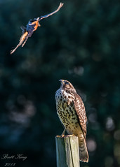 Fly by! (dbking2162) Tags: birds bird beautiful birdofprey robin coopershawk hawk nature nationalgeographic wildlife fly by eagles indiana