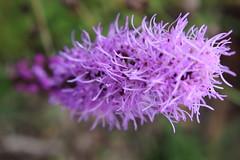 IMG_8405 (Usagi93190) Tags: purple flowers plants macro proxi nature outdoors botanical gardens naples florida