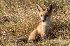 Where's Mum? (MelRoseJ) Tags: concord california unitedstates us redfox fox northerncalifornia bayarea