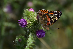 butterfly (moniquedoon) Tags: colourful macrophotography vlinder paintedlady thistle