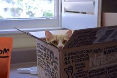 Jimmy in the Nuts.com box. (rootcrop54) Tags: jimmy orange ginger tabby male cat nutscom delivery box neko macska kedi 猫 kočka kissa γάτα köttur kucing gatto 고양이 kaķis katė katt katze katzen kot кошка mačka gatos maček kitteh chat ネコ kitchen counter