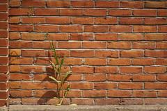 Life (hanley.will) Tags: durham plant shadow brick light lightandshadow lines life manvsnature dukeuniversity meditate meditation contemplativephotography contemplation contemplative