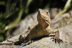 bearded dragon (freakingrabbit) Tags: lizard dragon new south wales australia desert reptile animal wildlife