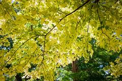 "Niagara Falls_195 (@dbhaffey) Tags: niagara niagarafalls ""niagara parks botanical gardens"" niagaraparksbutterflyconservatory tree trees branches sky niagaraonthelake dbhaffeysnapshots"