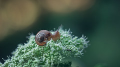 *** (zeldabylinovitch) Tags: snail cochlea helix nature green horns mood manuallens oldlens helios442