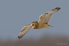 Its all about the eyes.. (Earl Reinink) Tags: bird animal raptor predator nature wildlife outside outdoors flying earlreinink earl reinink owl shortearedowl zdudiuudha