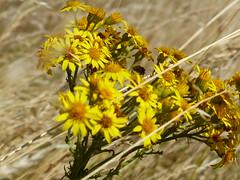 ............. (four-hearts) Tags: blumen blüten wiese natur sommer wildblumen wildpflanzen pflanzen landschaft