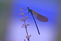"""L'heure bleue pour """"Allez les bleus"""" ! (Marc Souques) Tags: dragonfly libellule bleu heure proxy macro nature bokeh"""
