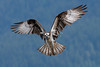 Osprey Landing (fascinationwildlife) Tags: animal bird birding raptor raubvogel vogel wild wildlife nature natur kanada canada osprey fischadler adler predator prey inflight wings bc spring