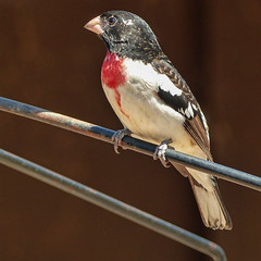 Rose-breasted Grosbeak, Rondeau PP (annkelliott) Tags: canada ontario ptpeleetadoussacholiday day2 rondeauprovincialpark visitorcentre nature wildlife ornithology avian bird rosebreastedgrosbeak pheucticusludovicianus male frontsideview perched metal feeder outdoor spring 8may2018 fz200 fz2004 panasonic lumix annkelliott anneelliott ©anneelliott2018 ©allrightsreserved