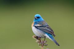 Lazuli Bunting (Art Clausing) Tags: portland oregon unitedstates us