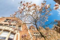 Magnolias (mfeingol) Tags: spring washington cherry uw magnolia universityofwashington tree seattle cherryblossom