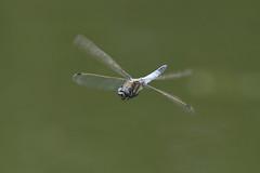 Gewone Oeverlibel in vlucht- Black-tailed skimmer in flight (Orthetrum cancellatum) (Bram Reinders(on-off)) Tags: gewoneoeverlibel blacktailedskimmer orthetrumcancellatum grosserblaupfeil orthétrumréticulélibel dragonfly inflight invlucht macro micro nature natuur male wildlife delfzijl maarhof curiosityisthesourceofallknowledge nieuwsgierigheidisdebronvanallekennis groningen holland nederland thenetherlands nikond500 nikonafs200500mmf56evred nikon200500 nikkor200500 200500 nikkor nikon ©bramreindersdelfzijl bramreinders bram reinders wwwbramreindersnl