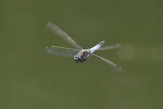 Gewone Oeverlibel in vlucht- Black-tailed skimmer in flight (Orthetrum cancellatum)