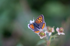Small Copper (michel1276) Tags: olympus zuiko zuikomacro zuikomacro9020 manuell manualfocus schmetterling butterfly papillon farfalle mariposa insect insects macro