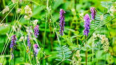 Nettle hill Circular Walk 17th June 2018 (boddle (Steve Hart)) Tags: stevestevenhartcoventryunitedkingdomcanon5d4 nettle hill circular walk 17th june 2018 steve hart boddle steven bruce wyke road wyken coventry united kingdon england great britain canon 5d mk4 6d 100400mm is usm ii 2470mm standard wild wilds wildlife life nature natural bird birds flowers flower fungii fungus insect insects spiders butterfly moth butterflies moths creepy crawley winter spring summer autumn seasons sunset weather sun sky cloud clouds panoramic landscape ansty unitedkingdom gb