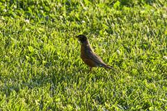 _MG_4043a (Rick_Moeller) Tags: nature wildlife birds stferdinandpark florissant missouri mo outdoors robin