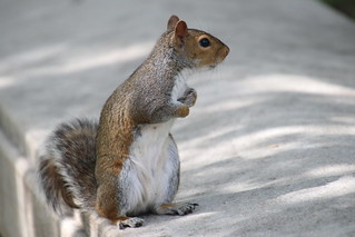 More Squirrels of The University of Pittsburgh - June 20th & 21st, 2018 (Pittsburgh, Pennsylvania)
