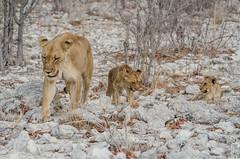 family (peter birgel) Tags: namibia lions africa lionfamily nikon d7000 travel travelphotography etosha wildlife