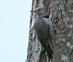 Out with mom, learning the ropes  :) (Paridae) Tags: flicker northernflicker colaptesauratus orangeshafted birdsofbritishcolumbia birdsofafeather birdsofbowser birdsofvancouverisland insecteaters afewofmyfavouritethings canoneos1dx