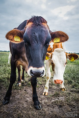 Koeien-8338 (Thijs de Groot Photography) Tags: thysphotography thijsdegroot farm netherlands grassland nature beautyful cow cows spring canon 80d volendam edam field outdoor