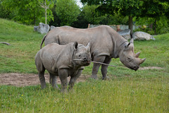Eastern Black Rhinoceros (Diceros bicornis michaeli) (Seventh Heaven Photography) Tags: eastern black rhinoceros dicerosbicornismichaeli diceros bicornis michaeli animal mammal hazina kitani chester zoo cheshire mum daughter female