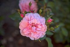 Rose Bonita, Norway (Ingunn Eriksen) Tags: rose rosebonita mygarden flower nikond750 nikon