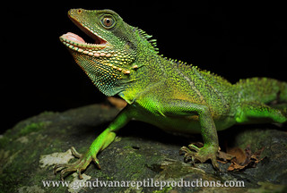 portrait: Chinese Water Dragon