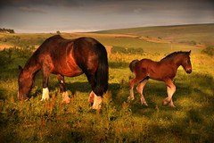 Shire and foal (PentlandPirate of the North) Tags: shire horse foal colt mare motherandson