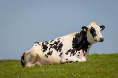 Ruminating ! (DP the snapper) Tags: llangranog cow
