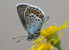 """""""Plebejus argus"""" - heideblauwtje (bugman11) Tags: heideblauwtje bug bugs plebejusargus fauna flora flower flowers nederland thenetherlands boxtel insect insects animal animals nature canon 100mm28lmacro butterfly butterflies macro yellow"""