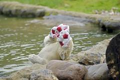 Nanook & die Fußball WM (Michael Döring) Tags: gelsenkirchen bismarck zoomerlebniswelt zoo eisbär polarbear nanook afs70200 d800 michaeldöring