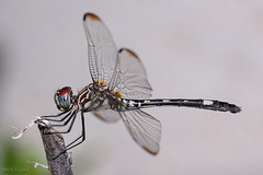 Resting (d-day buff) Tags: backyard flowers green insects macro texas dragonfly white wings hair twig stick odonata