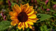 Sunflower on a Sunny Summer Day (BraCom (Bram)) Tags: 169 bracom bramvanbroekhoven goereeoverflakkee helianthus helianthusannuus holland nederland netherlands ouddorp southholland zuidholland blad bloem bloemblaadjes closeup flower geel green groen leaf petals plant summer sunflower sunny widescreen yellow zomer zonnebloem zonnig nl
